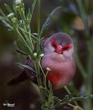 Little red bandit bird