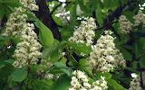 Chestnut blossoms