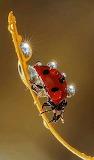 Ladybug beauty
