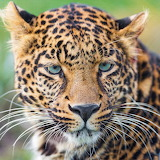 Cool Jaguar...