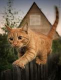 Orange Cat on a Fence