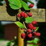 ☺♥ Blackberries...