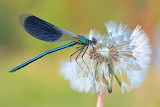 Wiki Loves earth photo comp Dragonfly Sven Damerow