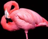 Flamenc Rosa - Pink Flamingo