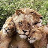 Lleons - Lions