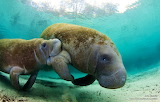 #Manatees in Florida Wetlands