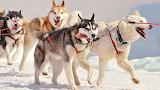 Sledge dogs-siberian-husky-snow-winter
