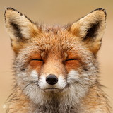 Chilled out Fox face