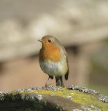 Robin red breast - Scotland
