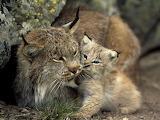 Baby-lynx 232 990x742