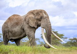RIP Amboseli Tim