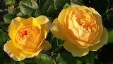 Roses-449