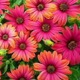 Colorful Petals...