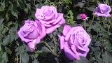Мои сиреневые розы