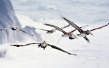 Pelicans in flight near Bandon. Oregon