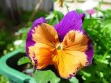 Joker flower in perth