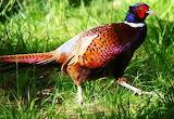 #Colorful Pheasant