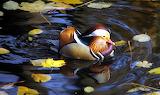 Mandarynka wśród pływających liści