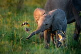 Baby elephant meeting new friends by Ross Couper