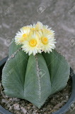Astrophytum-myriostigma-or-bishop-s-hat-cactus-with-yellow-flowe