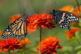 Monarch butterfly & Swallowtail by Dori Wagner Eldridge