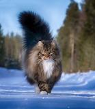 Cats - Sampy - Norwegian Forest Cat