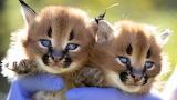 Twin Caracal wildcats credit Gregg Porteous newscorp