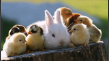 Rabbit Chickens animals cute