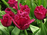 ^ Wine colored tulips