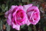Pink lilac rose
