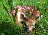Mile 0453 Fawn