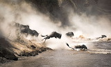 Animals - Wildebeest Migration