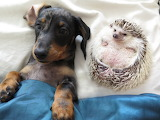 Dogs - Daschund puppy & hedgehog