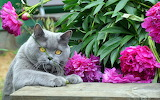 Gato gris entre flores