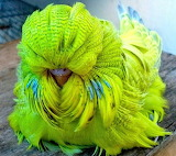 Feather duster budgies (mutant)