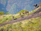 Nilgiri tahr,Eravikulam National Park,India