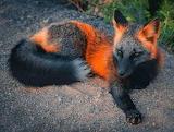 A rare fox, melonistic