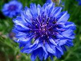 Boutonniere flower,Cornflower