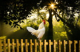 Cock, summer, nature, bird, morning, sunrise, fence, trees