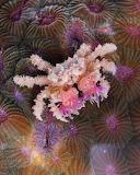 "Animals tumblr amnhnyc ""Boxer crab holding sea anemones in its c"