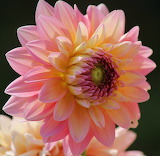 Dahlia pink & yellow