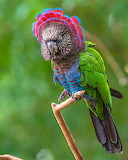 ^ Red-fan Parrot