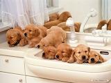 Dog-puppy-cute-pet