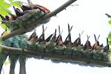 ^ European Bee-eaters - Extraordinary congregation
