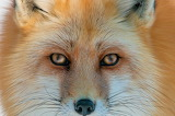Dogs - Red Fox