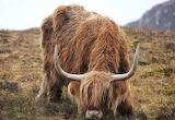 Highland Cow - Scotland