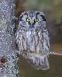 Birds - Boreal Owl