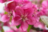 Flowers - Crabapple blossom