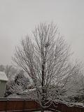 Snow on Tree Back Yard Nov. 2018