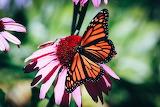 Monarch Butterfly on Pink flower by Erin Wilson